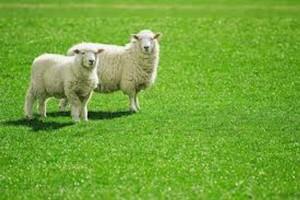Kem nhau thai cừu dưỡng trắng da của Úc