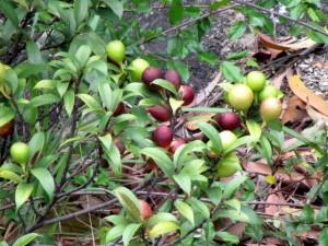 Cây vú bò và tác dụng chữa bệnh của cây vú bò