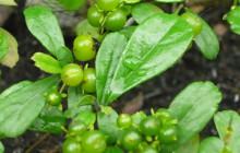 Bài thuốc chữa bướu cổ từ lá cây Bùm xụm