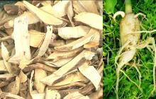 Những ứng dụng của rễ cây chùm ngây mà bạn nên biết