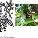Công dụng của cây Nhội là gì?