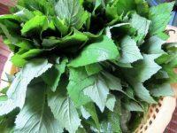 Thực hư về việc cây cải trời trị bướu cổ bạn nên biết