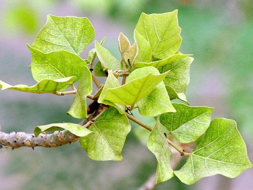 cây vông chữa bệnh trĩ