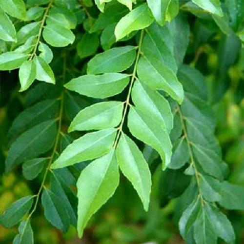 13 Công dụng hữu ích của trà lá cà ri đối với sức khỏe con người