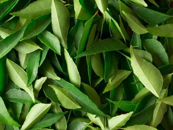 Bạn có thể sử dụng bã lá trà cà ri đắp lên vết cắt nhỏ, vết thương và bỏng