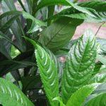 4 Cách chữa ho bằng lá xương sông hiệu quả