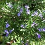 Những điều bạn nên biết về công dụng của cây hương thảo