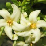 Gợi ý 3 cách chữa ho bằng hoa đu đủ đực