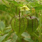 Cây tầm bóp: Loại cây dại chữa tiểu đường hiệu quả