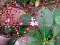 Cây sâm đất – công dụng của cây sâm đất