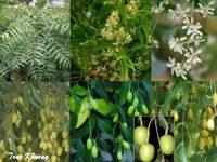 Cây sầu đâu – công dụng của cây sầu đâu