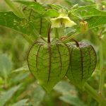 Hướng dẫn cách dùng cây tầm bóp chữa thủy đậu