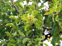 Cây tầm gửi – công dụng của cây tầm gửi