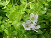 Cây rau đắng – công dụng của cây rau đắng