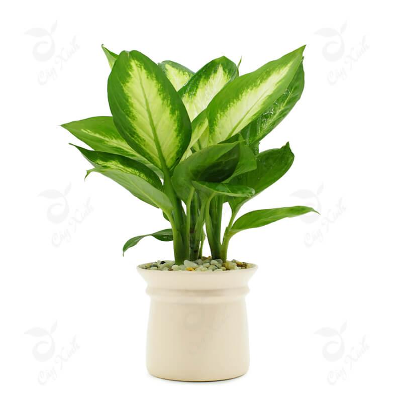 Top 07 loại cây cảnh không nên trồng trong nhà