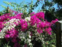 Cách trồng cây hoa giấy mang lại may mắn cho gia chủ