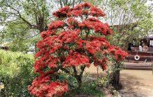 Cách chăm sóc cây bông trang (mẫu đơn) ra hoa