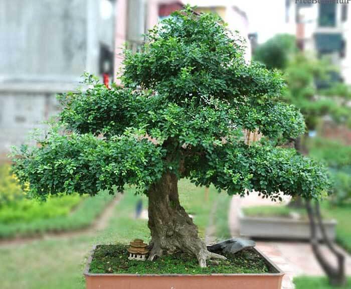Ý nghĩa phong thủy và cách chăm sóc cây nguyệt quế