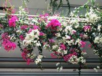 12 loài cây thích hợp trồng ở ban công chung cư, nhà phố
