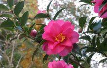 Kỹ thuật trồng và chăm sóc hoa trà truyền thống