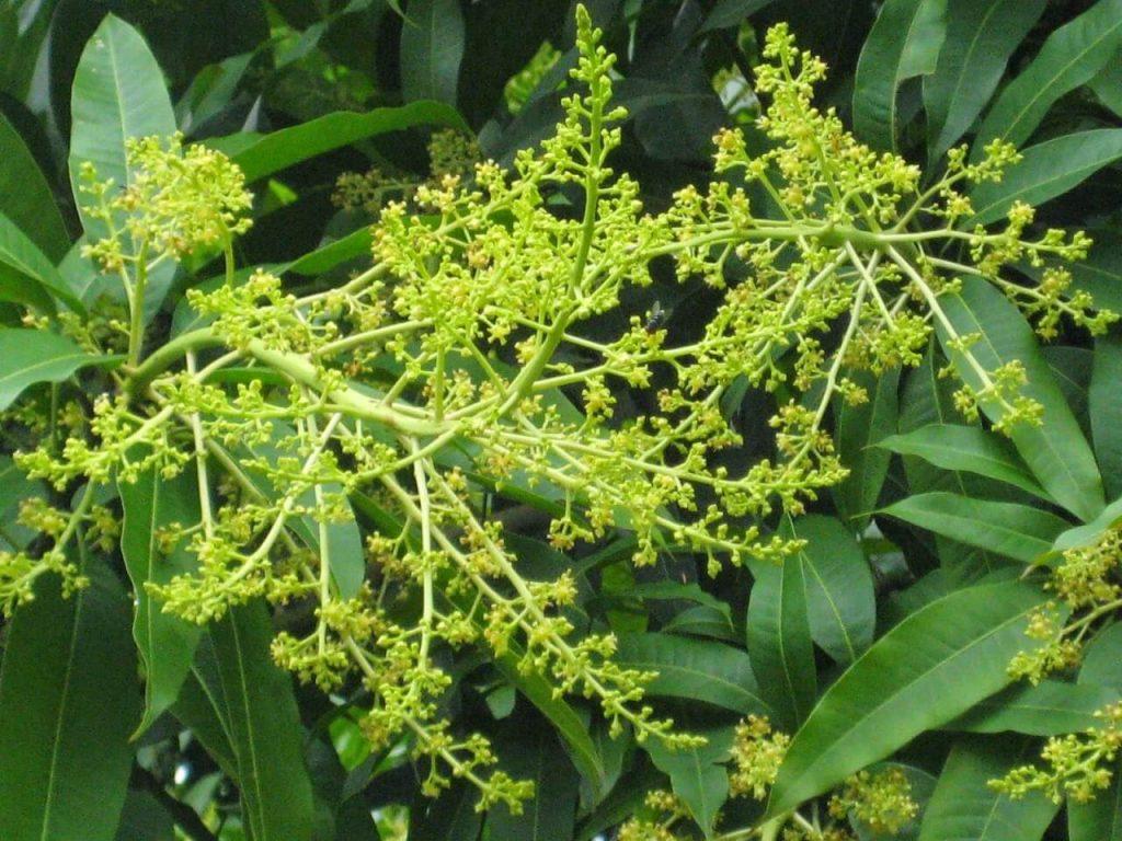 Kỹ thuật chăm sóc cây xoài giai đoạn ra hoa, đậu trái non