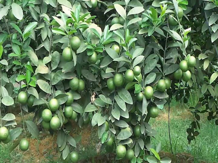 bai thuoc hay-Các giống cây ăn quả miền nam thích hợp trồng ở miền bắc