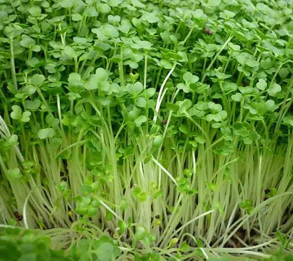 Kỹ thuật trồng rau mầm đúng cách cho năng suất cao