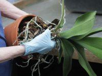 Cách tưới nước, bón phân cho phong lan