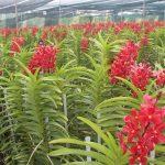 Kỹ thuật trồng, chăm sóc hoa lan Mokara công nghiệp chi tiết
