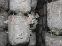 Kỹ thuật trồng nấm bào ngư xám trên mùn cưa