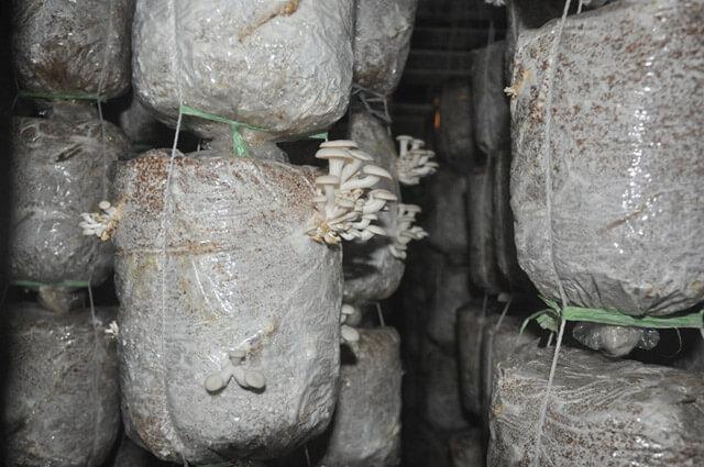 trồng nấm bào ngư xám trên mùn cưa
