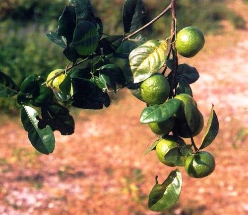 cây quýt gai chữa bệnh thận