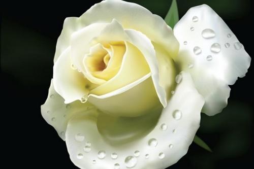 Cách chữa ho bằng hoa hồng bạch