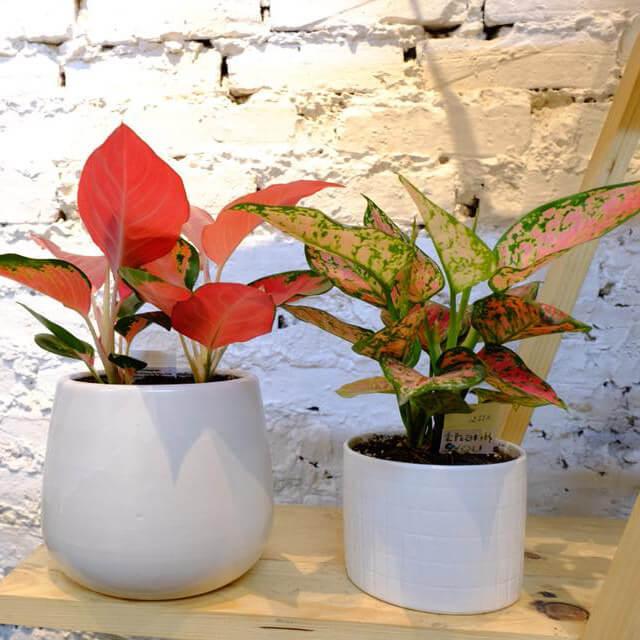 Ý nghĩa phong thủy và cách chăm sóc cây Vạn Lộc