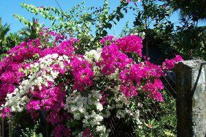 y nghia phong thuy cay hoa giay