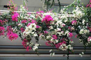 hoa giay trong ban cong