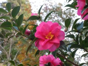 cach cham soc cay hoa tra ra hoa dip tet