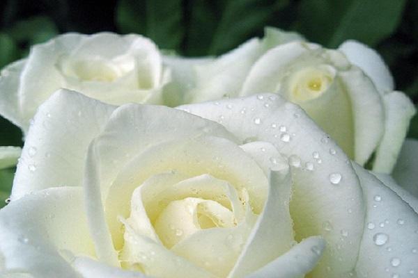 Cách hấp hoa hồng bạch chữa ho